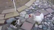 arabulucu tavuklar