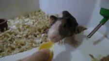 cıbıl mandalina yerken