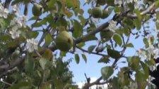 armut ağacı ekimde çiçeklendi