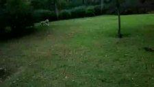 golden retriever jessie macka parki'nda