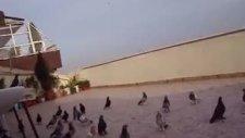 çifte kavrulmuş oyun kuşu taklacı güvercin