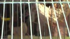 gökkuşağı ispinozu - guldian finch