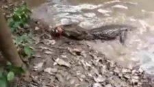 yılan balığı ve timsah