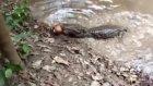 elektirik balığı timsahı çarptı ve  öldürdü