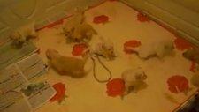 13/11/2010 doğumlu golden retriever bebekler gncl.
