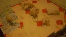 satılık bebek yüz golden retriever yavruları