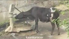 akıllı inek çeşmeyi açıp nasılda su içiyor
