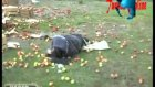 tarsus'ta elma yüklü kamyon devrildi 1 yaralı