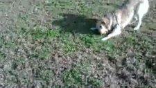 golden retriever jessie - maçka parkı'nda oynuyor