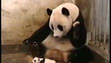 hapşıran minik panda