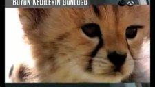 büyük kedilerin günlüğü - tivibu