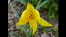 Sordum Sarı Çiçeğe (ilahi)