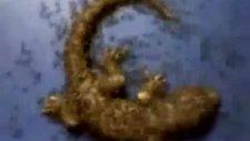 karıncalar 38 saatte bukalemunu yedi