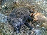 Pursaklar Domuz Avcılık