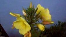 Ezan Okunurken Açan  Çiçek