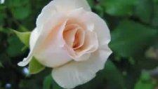 Hasret Çiçeği