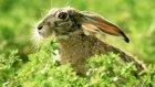 tavşan sesi kopay sesi