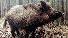 yaban domuzu sesi bağırması