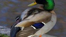 yeşil baş ger ördek sesi