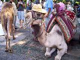 antalya düden Şelalesi girişindeki develer