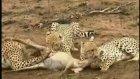 çita ailesi- leopar- aslan ailesi- ve ortada 1 av