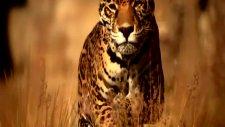 vahşi yaşam- büyük kedilerin günlüğü
