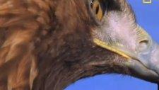 vahşi yaşam - golden eagle - altın kartal