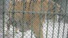 ankara hayvanat bahçesi aslanları