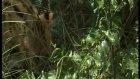 vahşi yaşamın ikinci en hızlı  avcısı - karakulak