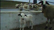 ekrem havale'nin koyun ve kuzuları