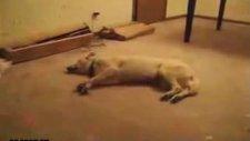 kopek uykuda ruya gorurse !