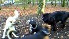 kangal vs. labradorneufundl.bloodhound