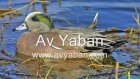 fiyu sesi orjinal eurasian wigeon  www.avyaban.com
