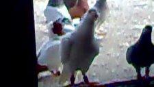 bölükçü muzo dayının filo güvercinleri 3