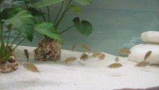 tropheus kasakalawe yavruları