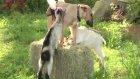 bu köpek keçilere süt veriyor