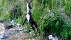 american staffordshire pitbull terrier - nina