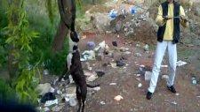 american staffordshire pitbull terrier - nina 1