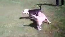 kangal ve pitbull