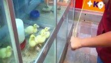 Komik Yavru Ördekler [funny Baby Ducks]