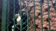 goril sigara içiyor