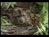 yeni bir leopar cinsi bulundu