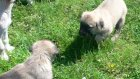 safkan kangal  ayıboğan yavruları tel 546 460 71 17