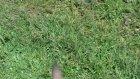 satılık kangal köpek ve yavruları tel0546 460 71 17