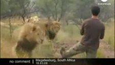 adam aslanlarla kedi gibi oynuyor