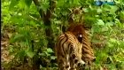 Tiger Ve Maymun