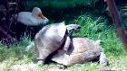 kaplumbağaların aşkı