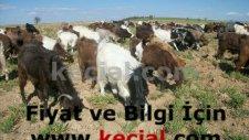 halep keçisi  halep keçisi özellikleri  süt keçisi  halep keçisi fiyatları