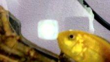 azı yumurta dolu sp