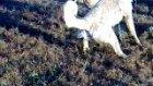 elbistan kangal